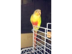 Conure Parrot with cage for Sale in the UK