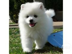 Cute Beautiful Pomeranian puppies for Sale in the UK