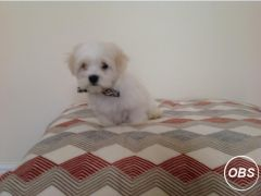 Cute Cavachon handsome non moulting pup for Sale in the UK