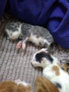 Cute Kittens for Sale Herefordshire UK Free Classified Ads