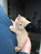 Cute Kittens for Sale in the UK Free Classified Ads