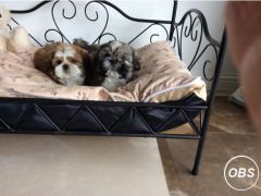 Cute Shih tzu boys Puppies for Sale in the UK
