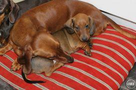 Dachshund Puppies Miniature KC Registered Pra Clear