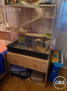 Degus for Sale at UK Free Ads