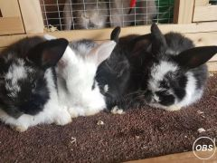 Dwarf Lop Baby Rabbits for Sale at Free Ads UK