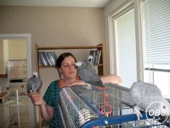 Exotic  African Grey Parrots For Sale