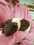 Female Guinea Pig Looking for New Home at UK Free Classified Ads