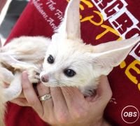 *Fennec fox available **