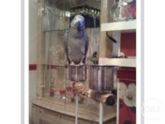 For Sale African grey parrot tame n talking inc cage in the UK