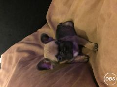 French Bulldog Puppies for Sale at UK Free Classified Ads