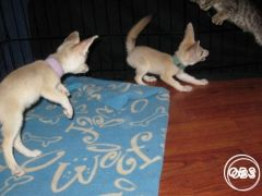 Friendly  and hand tame male and female fennec fox babies