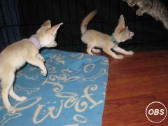 friendly male and female fennec fox babies