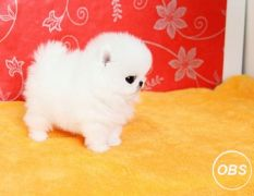 gentle Pomeranian For Sale CALL 07031956739