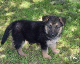 German Shepard Pupswhatsapp me at: 447418348600