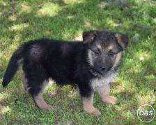 German Shepard Pupswhatsapp me at: 447418348600