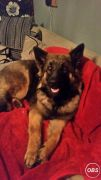 German Shephard Puppys 1 Big Male and 1 Female UK Free Ads