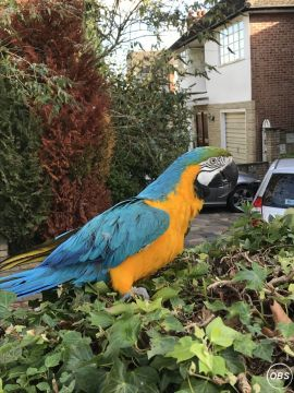 Gold and Blue Macaw Parrots for Sale