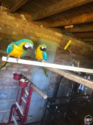 Gold And Blue Pair Macaw Parrots