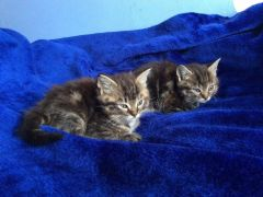 Gorgeous Fluffy Kittens for Sale Dorset UK Free Classified Ads