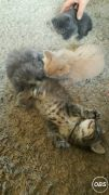 Gorgeous Fluffy Kittens for Sale UK Free Classified Ads