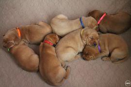 Gorgeous Labrador Retriever puppies