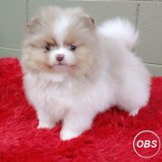 Gorgeous puppies playful  pomeraian ready puppies