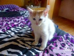 Gorgeous Turkish Van Kittens for Sale UK Free Classified Ads
