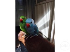 Green and blue baby Indian ringneck talking parrot for Sale in the UK