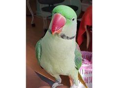 Green Parrot Alexandrine parrot for sale for Sale