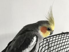Grey and yellow cockatiel Available at UK Free Classified Ads