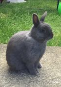 Grey Netherland Dwarf MISSING UK Free Classified Ads
