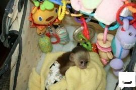 Hand Raised male female Capuchin Marmoset monkeys