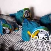 Hand Reared Macaw With Everything