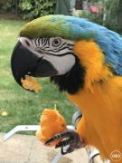Hand Reared Tame Talking Blue  Gold Macaw Parrots