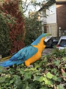 Hand Reared Tame Talking Blue Gold Macaw