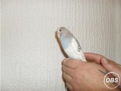 Hand tame baby budgies for Sale in the UK