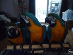 Hand Tame Gold And Blue Macaw Parrots
