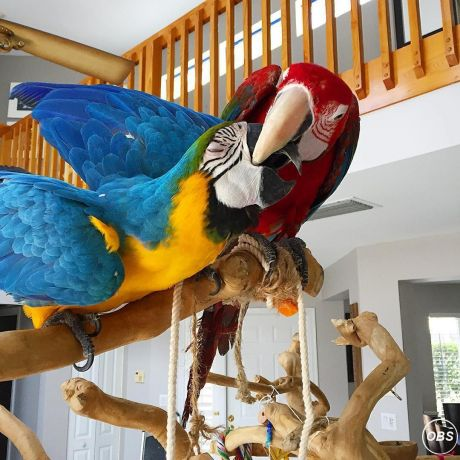 Hand tame macaw  parrots for sale