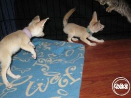 Hand Tame male and female Fennec fox babies ready