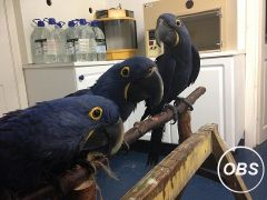 Hand tamed and very socialized Hyacinth Macaw parrots Available