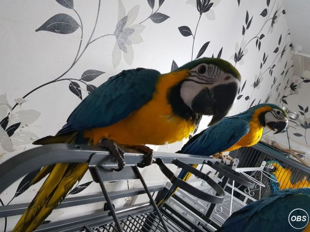 Handsome Blue And Gold Macaw