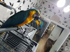 Handsome Blue And Gold Macaw Babies