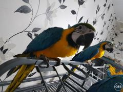 Handsome Blue And Gold Macaw Parrots For Sale