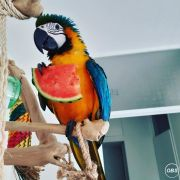 Handtame Pair Macaw Parrots For Sale