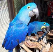 Health Hyacinth Macaw