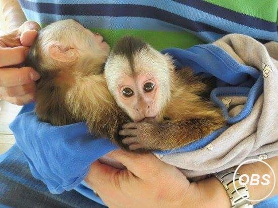 Healthy Male and female Capuchin Monkeys for adoption