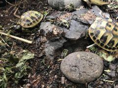 Hermann Boettgeri Tortoise Hatchlings at UK Free Classified Ads