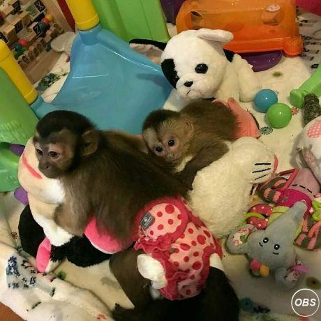 Intelligent Male and female Capuchin Monkeys