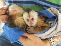 Intelligent Male and female Capuchin Monkeys