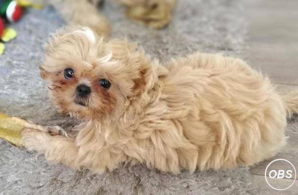 Kc Reg Shihtzu Puppies Available at UK Free Classified Ads